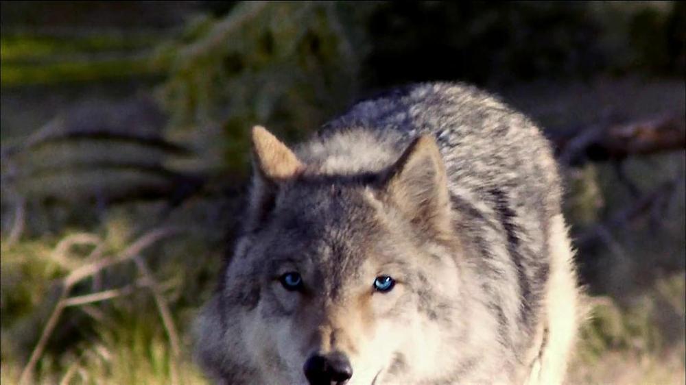 Blue Wilderness TV Spot For Blue Wilderness - Screenshot 4